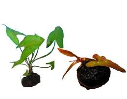 Dwarf Lily Aponogeton Natans Bulb