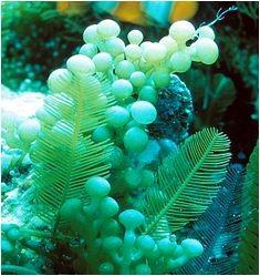 Grape Caulerpa Macroalgae