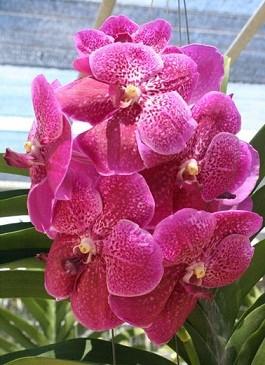 Vanda Orchids Plants VMB1269