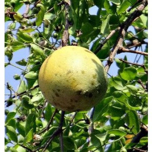 Aegle Marmelos Live Indian Garden Plants