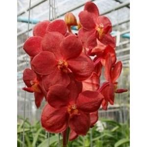 Ascocenda Orchid Plants AMB1047