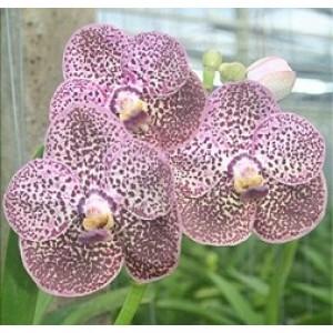 Ascocenda Orchid Plants AMB1050