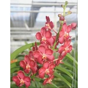 Ascocenda Orchid Plants AMB1052