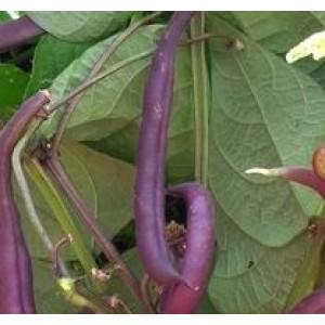 Beans Purple Pod Seeds