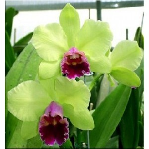 Cattleya Orchids Plants CMB1113