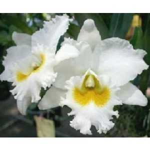 Cattleya Orchids Plants CMB1135
