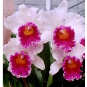 Cattleya Orchids Plants CMB1136