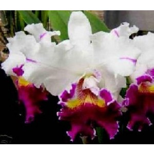 Cattleya Orchids Plants CMB1140