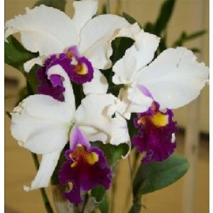 Cattleya Orchids Plants CMB1144