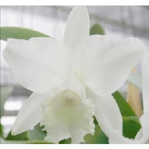 Cattleya Orchids Plants CMB1145