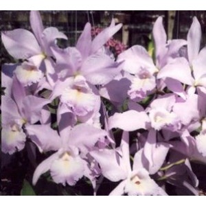 Cattleya Orchids Plants CMB1150
