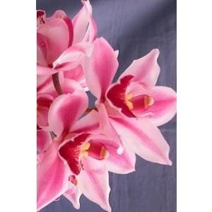 Cymbidium Orchid Plants CMB1028
