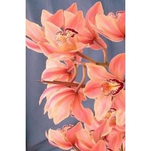 Cymbidium Orchid Plants CMB1029
