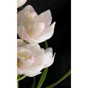 Cymbidium Orchid Plants CMB1030