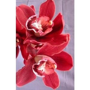 Cymbidium Orchid Plants CMB1032