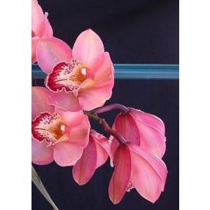 Cymbidium Orchid Plants CMB1035