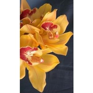 Cymbidium Orchid Plants CMB1036
