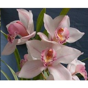 Cymbidium Orchid Plants CMB1037