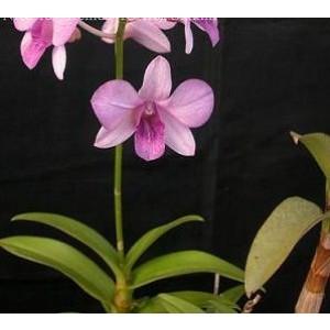 Dendrobium Orchid Plants DMB1039