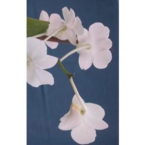 Dendrobium Orchid Plants DMB1041