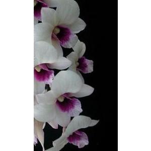Dendrobium Orchid Plants DMB1045