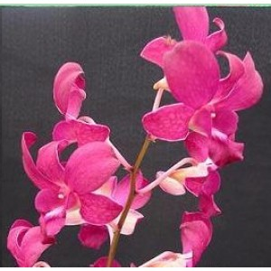 Dendrobium Orchid Plants DMB1046