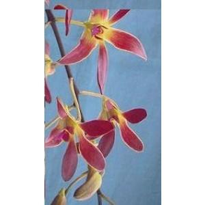 Dendrobium Orchid Plants DMB1047
