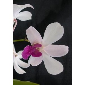 Dendrobium Orchid Plants DMB1048