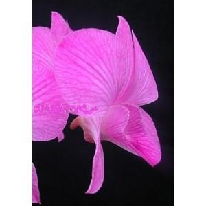 Dendrobium Orchid Plants DMB1053