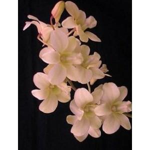 Dendrobium Orchid Plants DMB1052