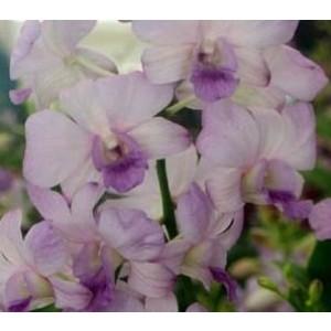 Dendrobium Orchids Plants DMB1316