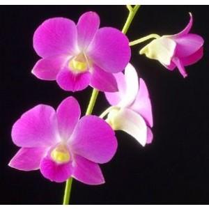 Dendrobium Orchids Plants DMB1383
