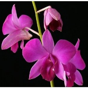 Dendrobium Orchids Plants DMB1384