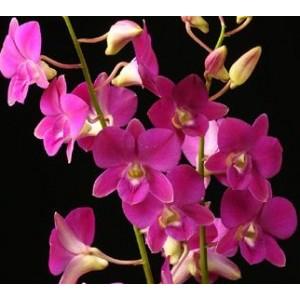 Dendrobium Orchids Plants DMB1386