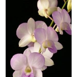 Dendrobium Orchids Plants DMB1387
