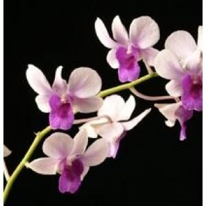 Dendrobium Orchids Plants DMB1390