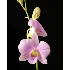 Dendrobium Orchids Plants DMB1392