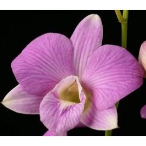 Dendrobium Orchids Plants DMB1393