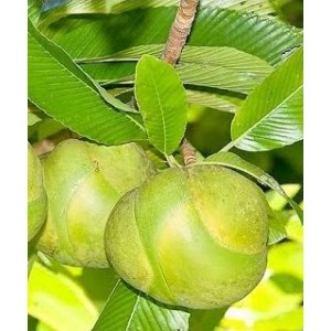 Elephant Apple Live Indian Garden Plants
