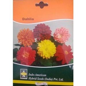 Hybrid Dahlia Flower Seeds