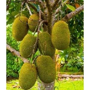 Jackfruit Live Indian Garden Plants