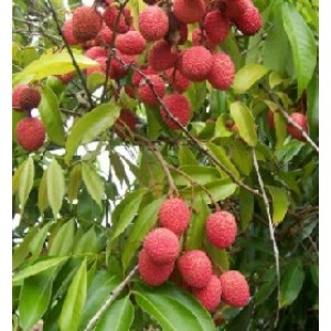 Lychee Live Indian Garden Plants