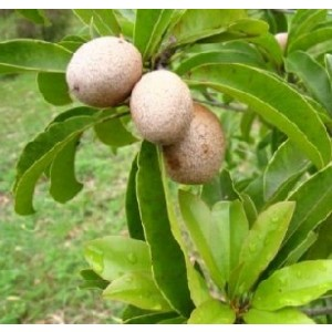 Manilkara Zapota Fruit Live Indian Garden Plants