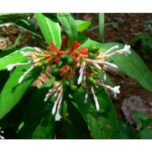 Rauvolfia Serpentina Live Indian Garden Plants