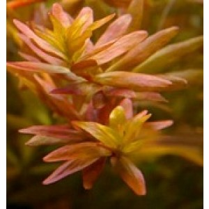 Rotala Rotundifolia Pink