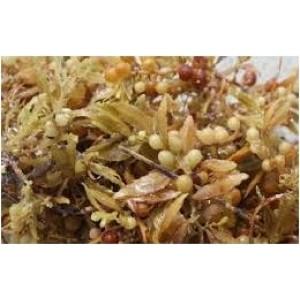 SARGASSUM Macro Algae