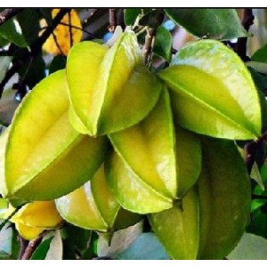 Star Fruit Live Indian Garden Plants