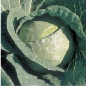 Syngenta BC 79 Cabbage Commercial Agriculture Seeds