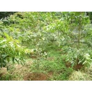 Terminalia Arjuna Live Indian Garden Plants