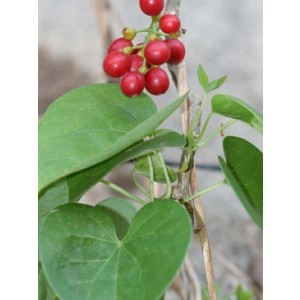 Tinospora Cordifolia Live Indian Garden Plants